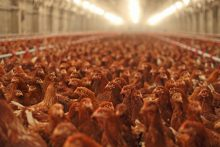 Top Catering Companies Raise Broiler Welfare