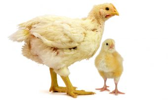 Latest Achievements for Broiler Chickens