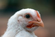 Continental Foods joins Chicken Commitment