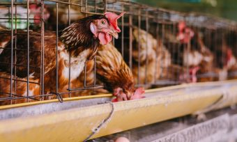 Cages for laying hens below 6% in Germany